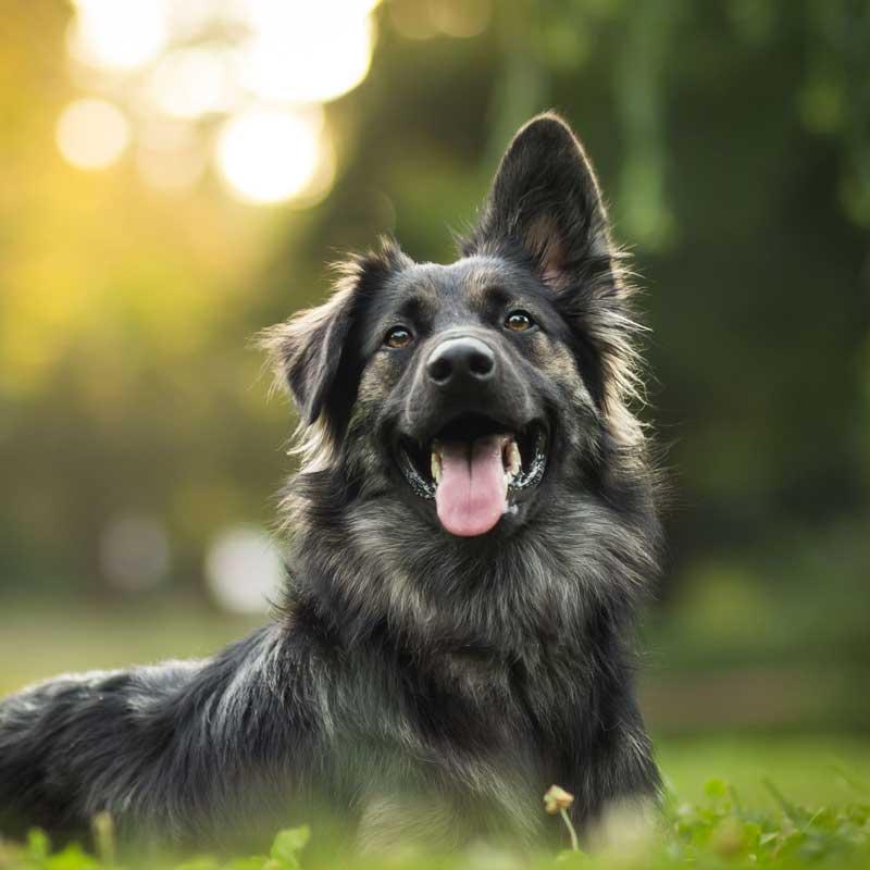 doggo-at-sunset-square